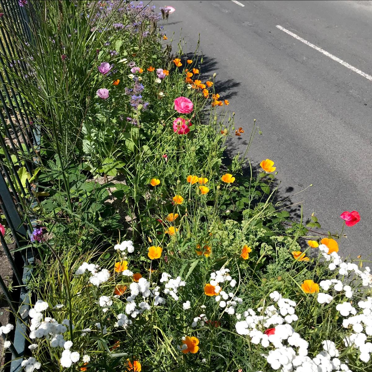 Bollington Wild Flower Meadow